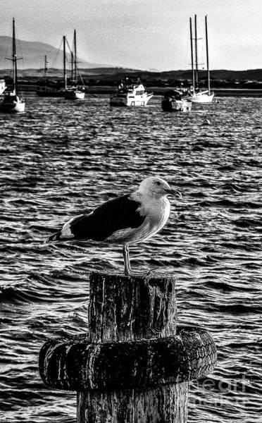 Seagull Perch, Black And White Art Print