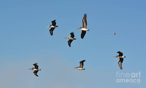 Photograph - Seagull Soaring With Pelicans by Susan Wiedmann