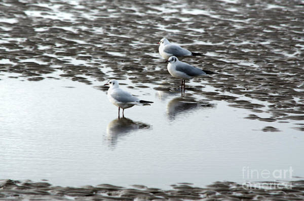 Photograph - Seagull Trio by Spade Photo