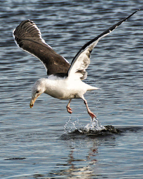 Photograph - Seagull Water Dance by William Selander