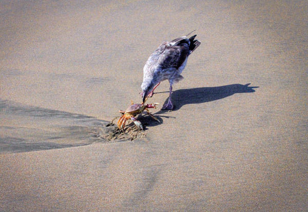 Photograph - Seagull With Crab On Beach by Bonnie Follett