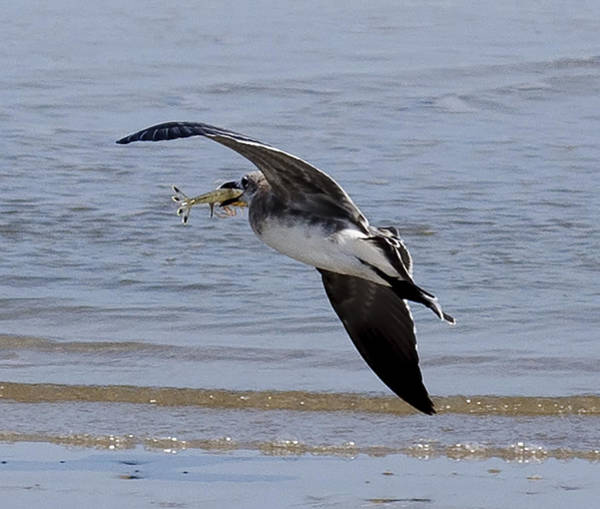 Photograph - Seagull With Shrimp by Brian Kinney