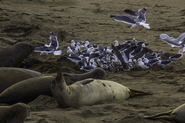 Wall Art - Photograph - Seagulls And Elephant Seals by Garry Gay
