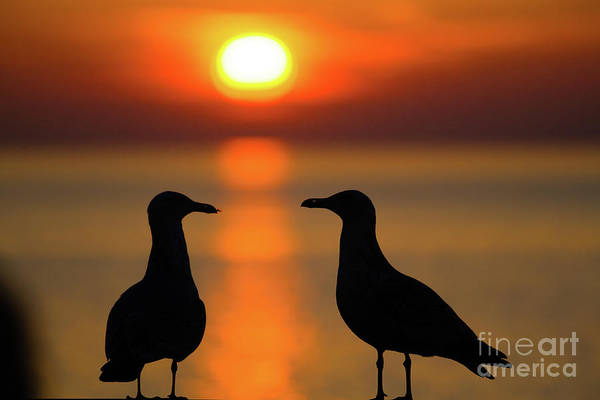 Photograph - Seagulls At Sunset by Keith Morris