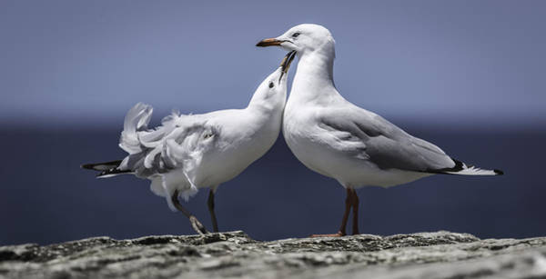 Photograph - Seagulls by Chris Cousins