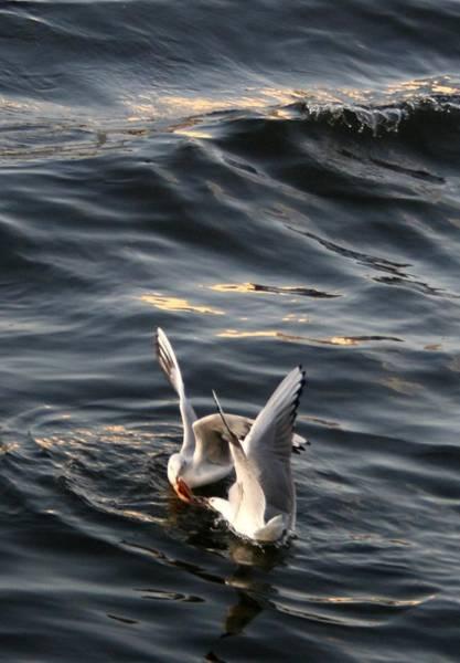 Wall Art - Photograph - Seagulls In Fight by Valia Bradshaw