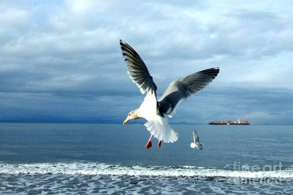 Photograph - Seagulls In Flight by Delores Malcomson