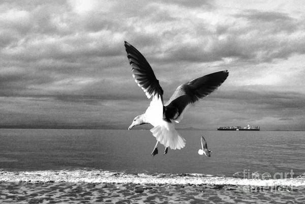 Photograph - Seagulls In Flight In Black And White by Delores Malcomson