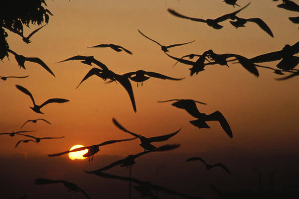 Silhoutte Photograph - Seagulls In Sunset by Carl Purcell