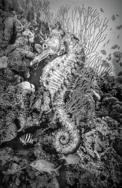 Photograph - Seahorse At A Magical Reef Black And White by Debra and Dave Vanderlaan