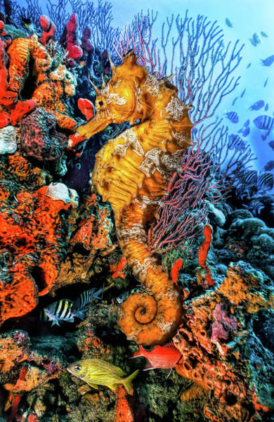 Photograph - Seahorse At A Magical Reef In Striking Detail by Debra and Dave Vanderlaan