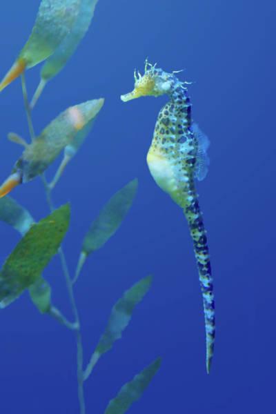 Seahorse Photograph - Seahorse by Nikolyn McDonald