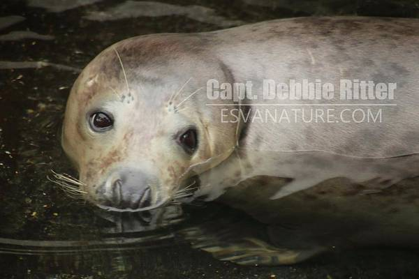Photograph - Seal 5808 by Captain Debbie Ritter