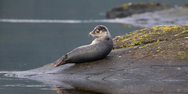 Photograph - Seal Drying On The Rocks by Peter Walkden