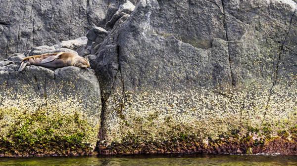 Photograph - seal - Montague Island - Australia by Steven Ralser