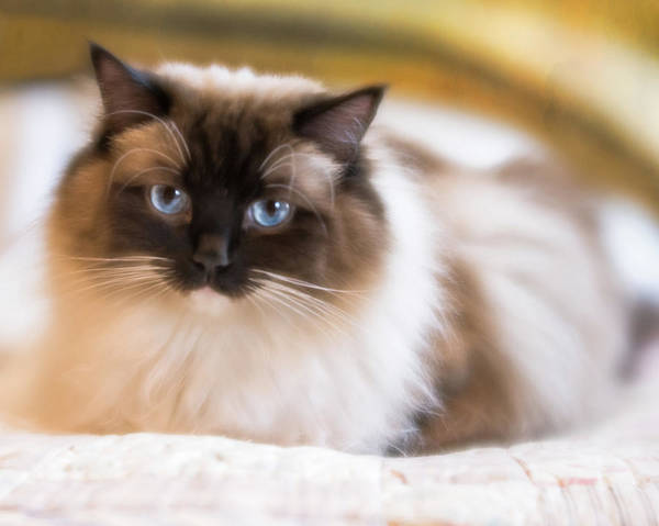 Photograph - Seal Point Bicolor Ragdoll Cat by Jennifer Grossnickle