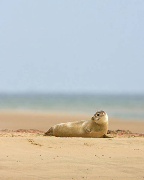 Photograph - Seal Pup by Peter Walkden