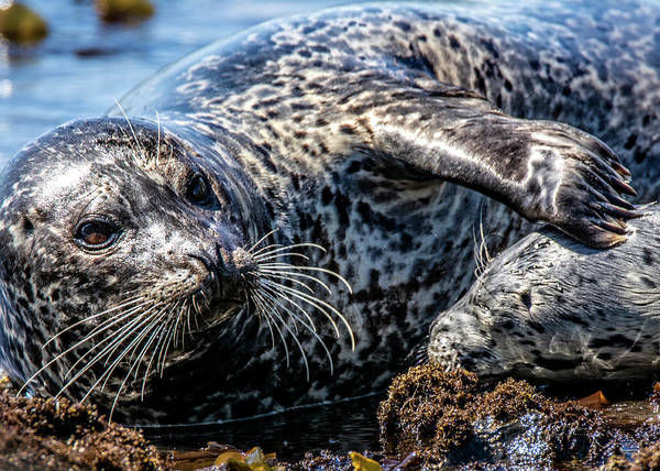 Photograph - Seal Pup With Mom by Bill Posner