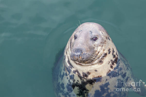 Seal With Long Whiskers With Head Sticking Out Of Water Art Print