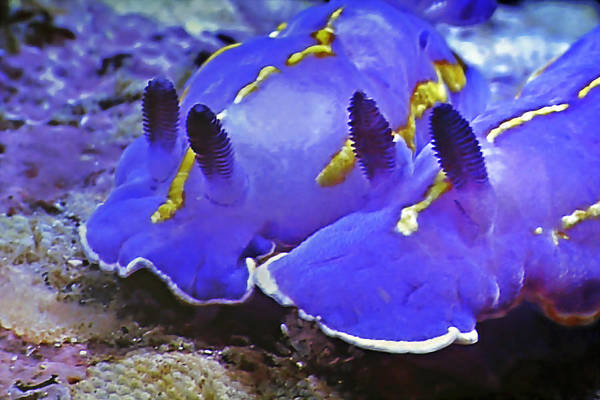 Photograph - Sealife Underwater Snails by Christine Till