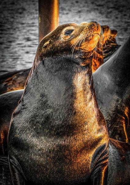 Photograph - Sealion 1 by Jason Brooks