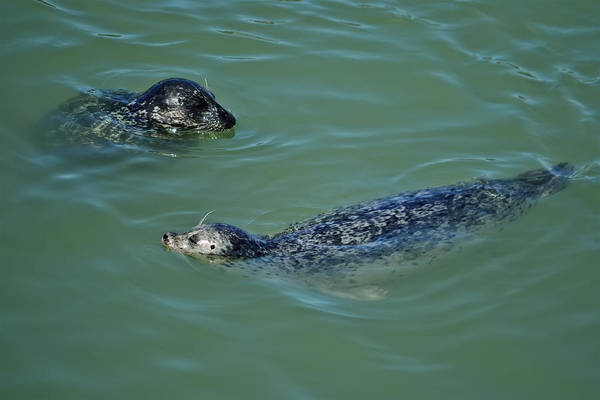 Photograph - Sealion Friends by Anthony Murphy