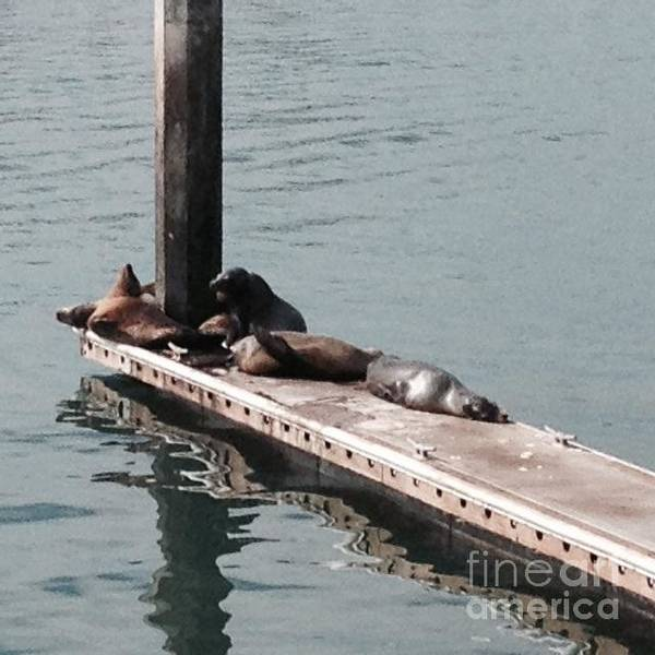 Photograph - Seals At Oceanside by Laurie Lundquist