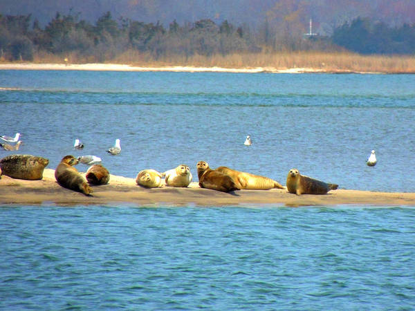 Photograph - Seals Hauled Out  At Cupsogue Beach by Kimberly Perry