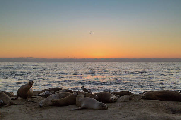Photograph - Seals Relaxing At Sunset by M C Hood