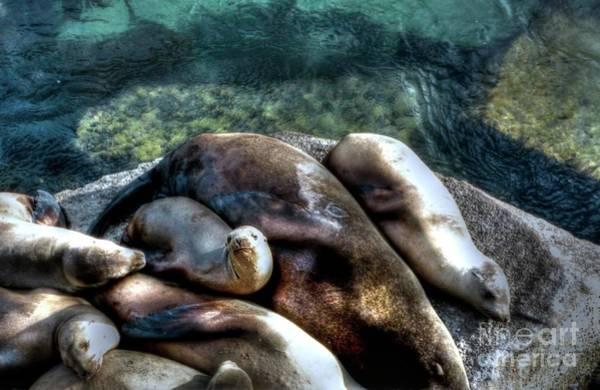 Photograph - Seals Sleeping by Joe Lach