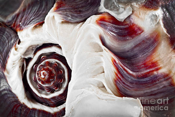 Mother Of Pearl Photograph - Seashell Detail by Elena Elisseeva