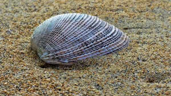 Photograph - Seashell On The Sand by Pamela Walton