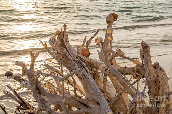 Photograph - Seashell Stump by Karin Pinkham
