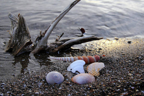 Photograph - Seashells And Driftwood by Angela Murdock