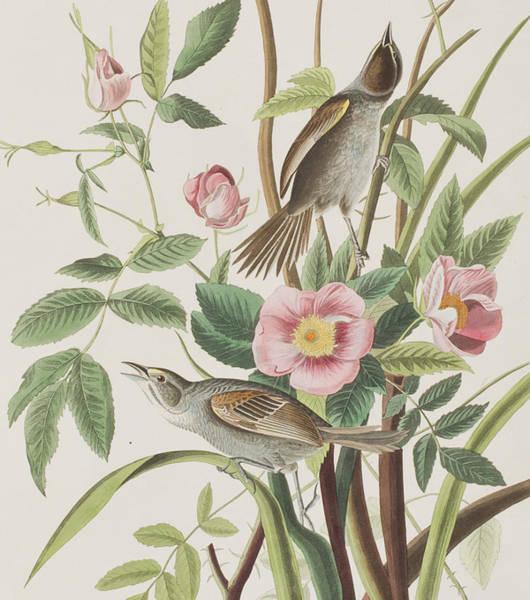 Wild Flowers Drawing - Seaside Finch by John James Audubon