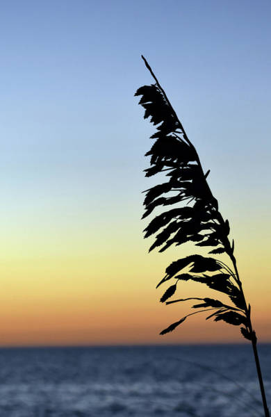 Photograph - Seaside Oat Plant At Sunset by Larah McElroy