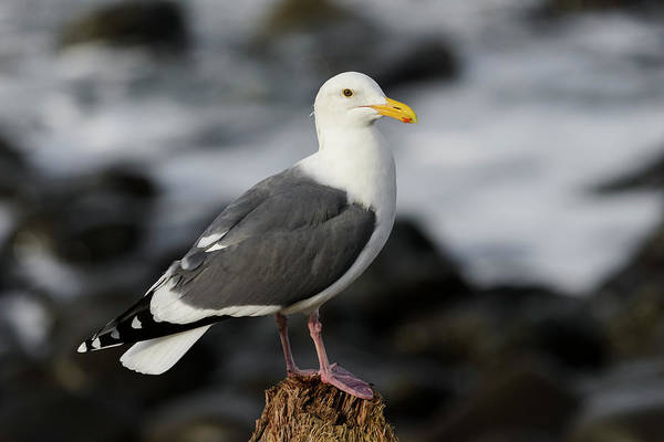 Photograph - Seaside Western Gull by Robert Potts