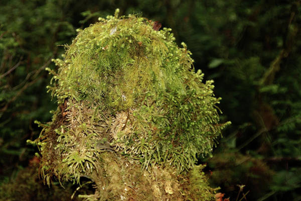 Photograph - Seasons Of Magic - Hoh Rainforest Olympic National Park Wa by Christine Till