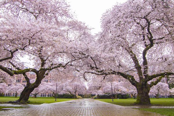 University Of Washington Wall Art - Photograph - Seattle Spring Cherry Trees In Bloom by Matt McDonald