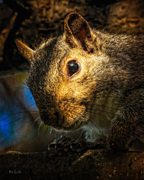 Photograph - Secret Squirrel   by Bob Orsillo