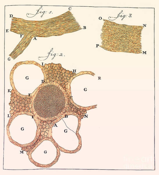 Photograph - Sections Of Nerves, Leeuwenhoek by Science Source