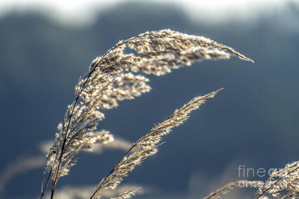 Photograph - Sedge Grass by Odon Czintos
