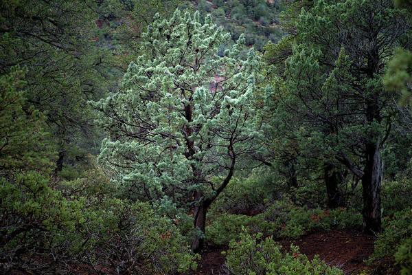 Sedona Tree #1 Art Print