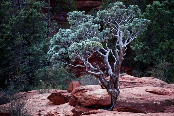 Photograph - Sedona Tree #3 by David Chasey
