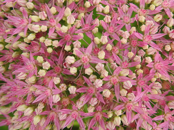 Wall Art - Photograph - Sedum Sparks by Betty-Anne McDonald