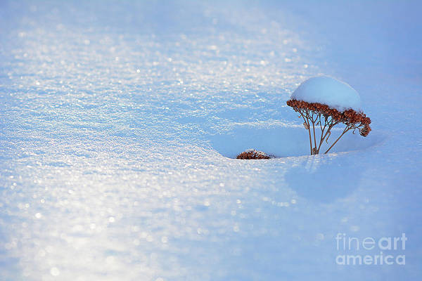 Photograph - Sedum Sprout In Winter-1 by Steve Somerville