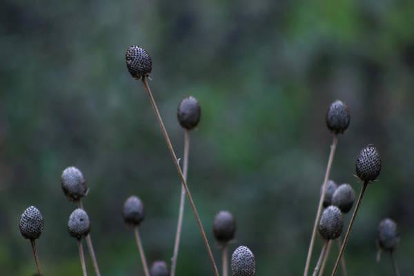 Photograph - Seedheads 5685 H_2 by Steven Ward