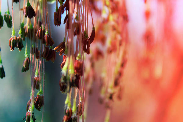 Photograph - Seedling Chandeliers by Scott Hovind