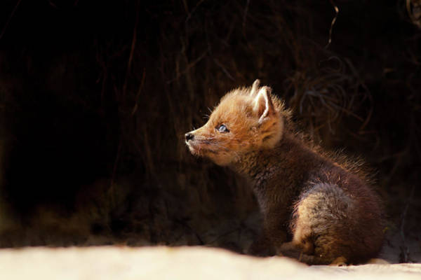 Wall Art - Photograph - Seeing The Light - Red Fox Baby Looking Up Tot The Sun by Roeselien Raimond