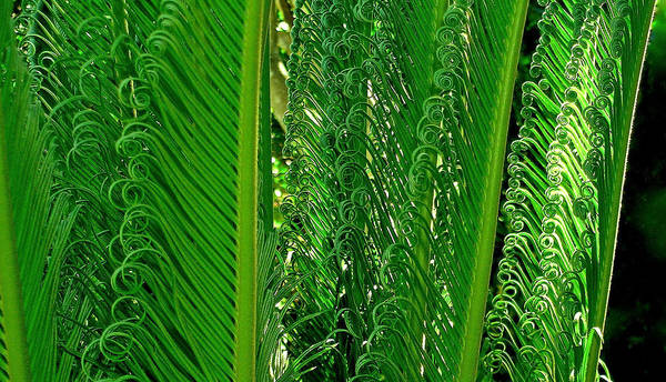 Wall Art - Photograph - Sego Palm by James Temple